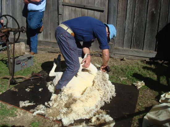 Shearing-sheep